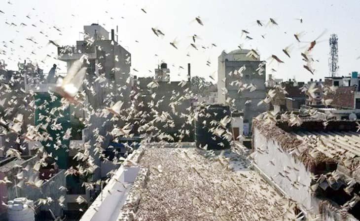 ভারতে পঙ্গপালের হানা, ঝাঁকে ঝাঁকে এগুচ্ছে দিল্লির দিকে