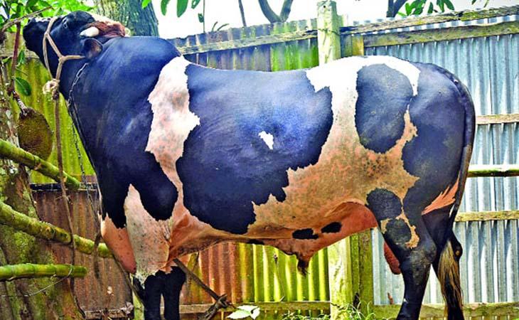 টাঙ্গাইলে গরুর ওজন ৩৫ মণ, দাম ২০ লাখ!